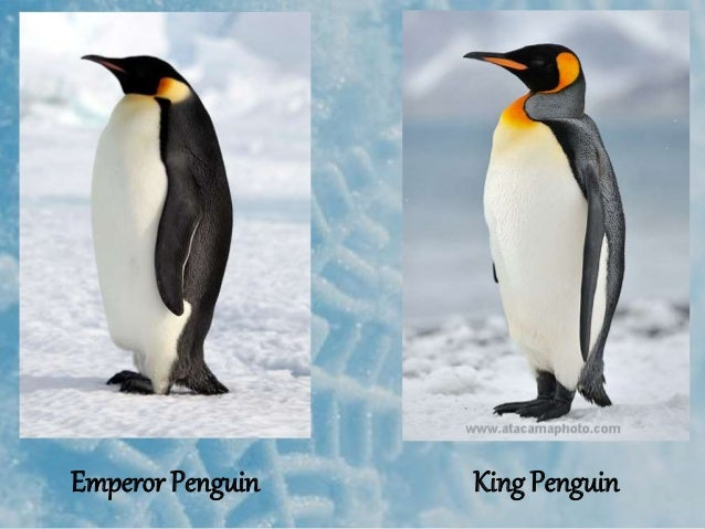 Thermoregulatory adaptions in penguins