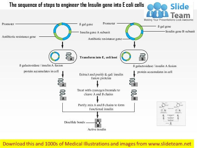 The sequence of steps to engineer the Insulin gene into E coli cells Extract and purify ß-gal/ insulin fusion proteins Tre...