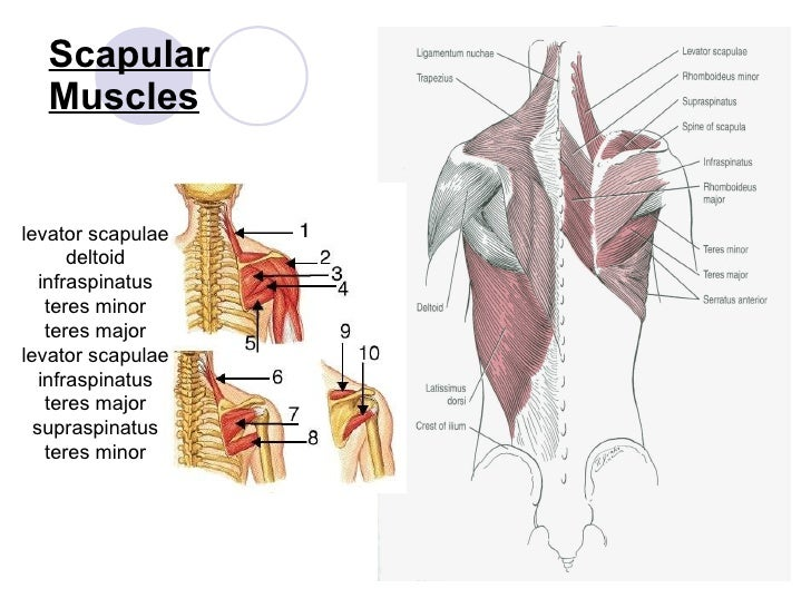 The shoulder complex sp2010