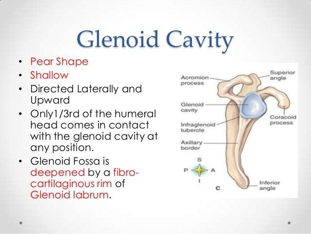 glenoid fossa – citybeauty, Cephalic Vein