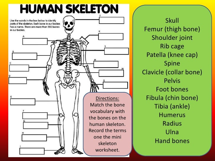 Printables Skeletal System Worksheet the skeletal system 2 1