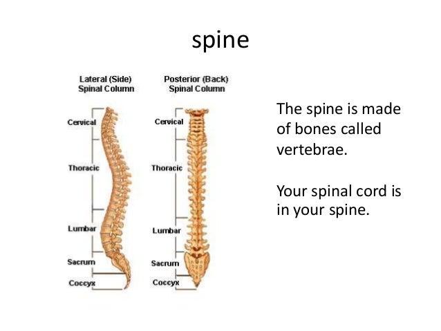 Skeletal system vertebrae