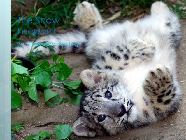 The Snow Leopard By Vicky and Audrey
