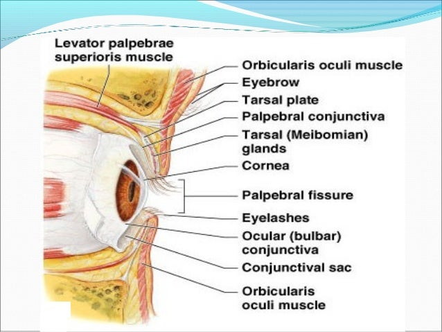 Special sense organs anatomy and physiology a brief discussion extra ocular muscles ccuart Image collections