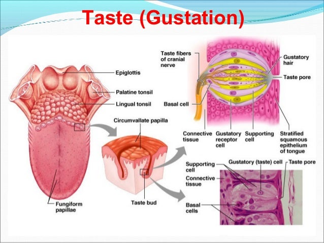 Special sense organs anatomy and physiology a brief discussion taste gustation ccuart Image collections