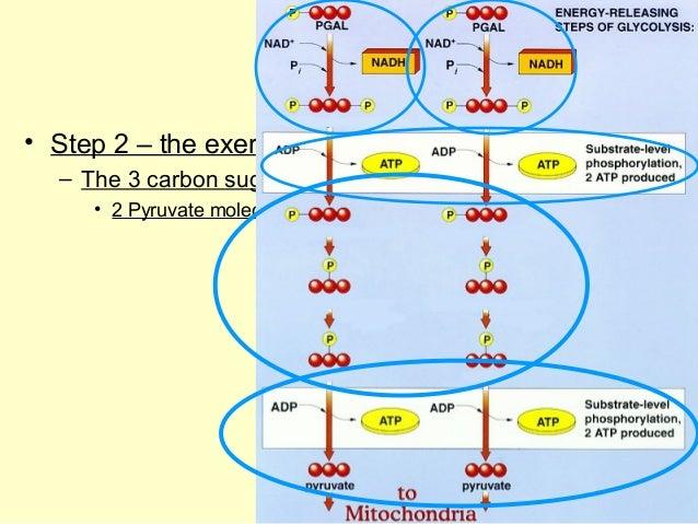 Ap bio ch 9 part 2 go to your diagram ccuart Images