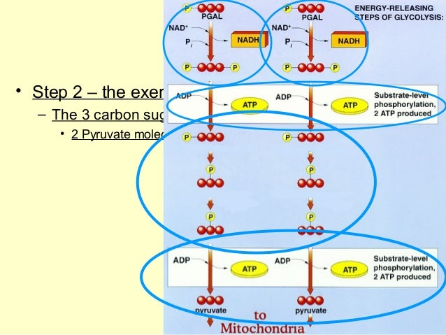 Ap biology cellular respiration diagram auto wiring diagram today ap biology the stages of cellular respiration ch 7 rh slideshare net ap biology cellular respiration notes basic diagram of cellular respiration ccuart Choice Image