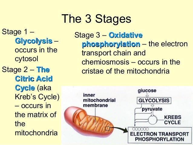 in which phase of cellular respiration is water made