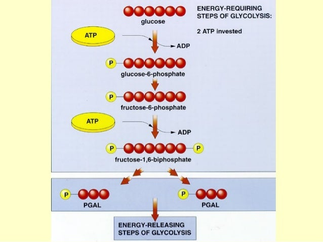 Ap biology essays cell respiration
