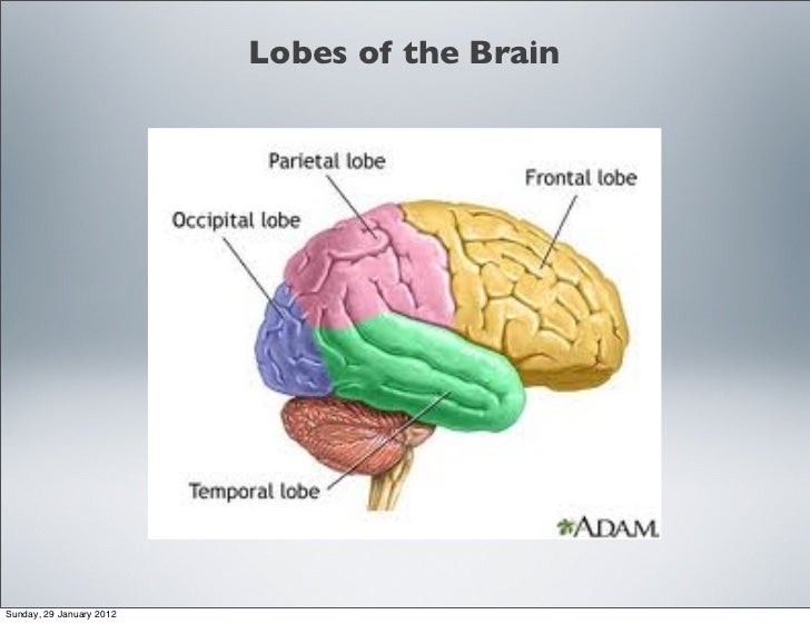 The Structure And Function Of The Brain