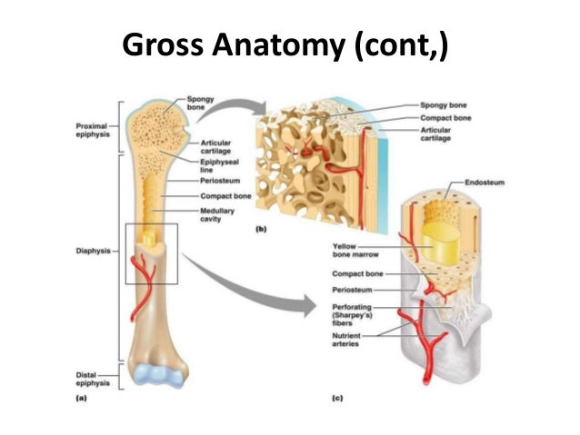 Structure Of Bone
