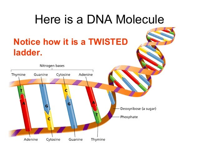how to read a dna sequence ladder