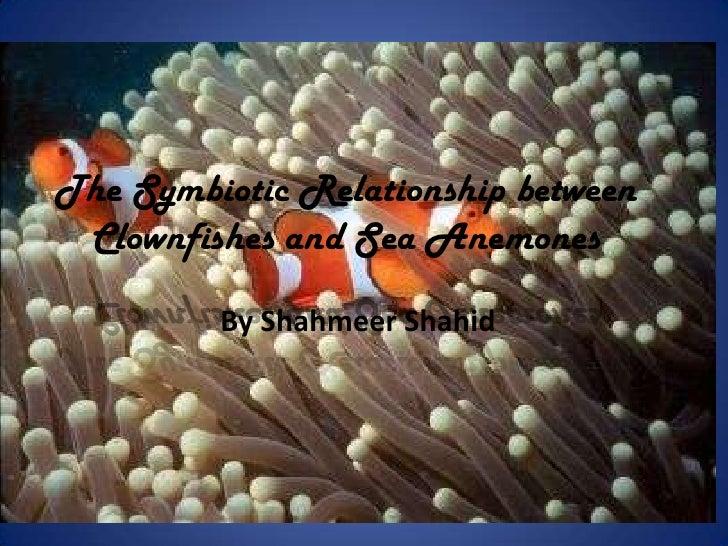 symbiotic relationship of clown fish and sea anemones