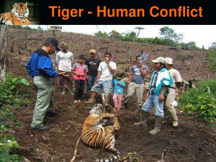 extinction of tigers There are only 400 sumatran tigers estimated to be left in the wild today, and  they must be protected before they are killed into extinction sign the petition.