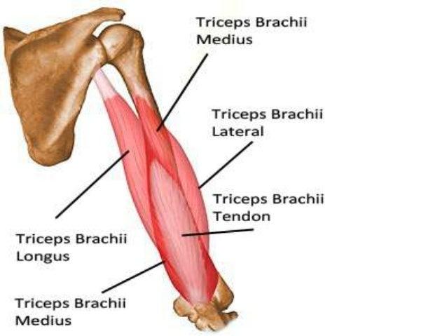 Posterior Upper Arm Muscles Diagram - Online Schematic Diagram •