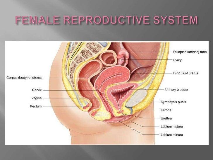 The uterus medical terminology p1