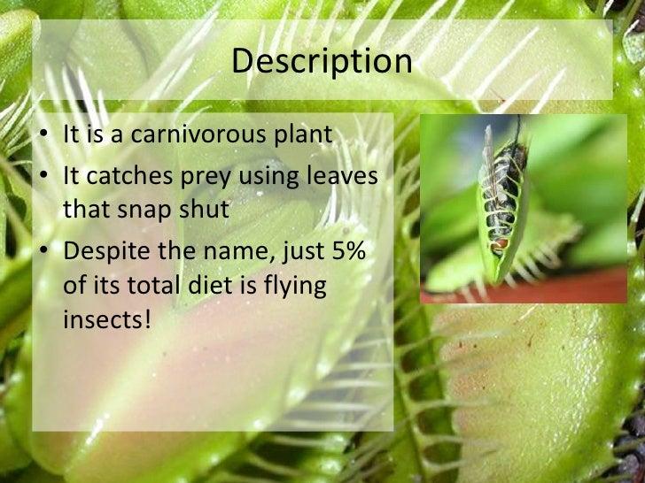 The venus flytrap Slide 2