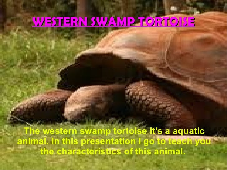 WESTERN SWAMP TORTOISE The western swamp tortoise Its a aquaticanimal. In this presentation I go to teach you    the chara...