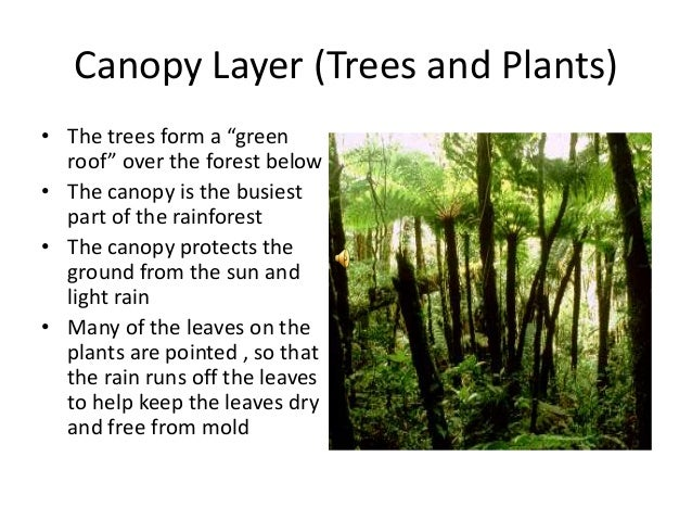 Canopy Layer ...  sc 1 st  SlideShare & The wonders of the rainforest vft