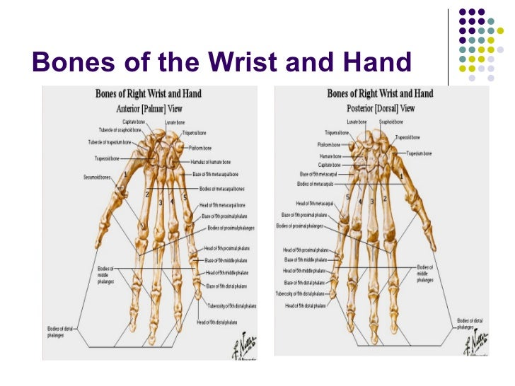 The Wrist And Hand