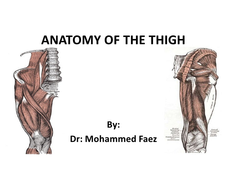 ANATOMY OF THE THIGH<br />By:<br />Dr: Mohammed Faez<br />