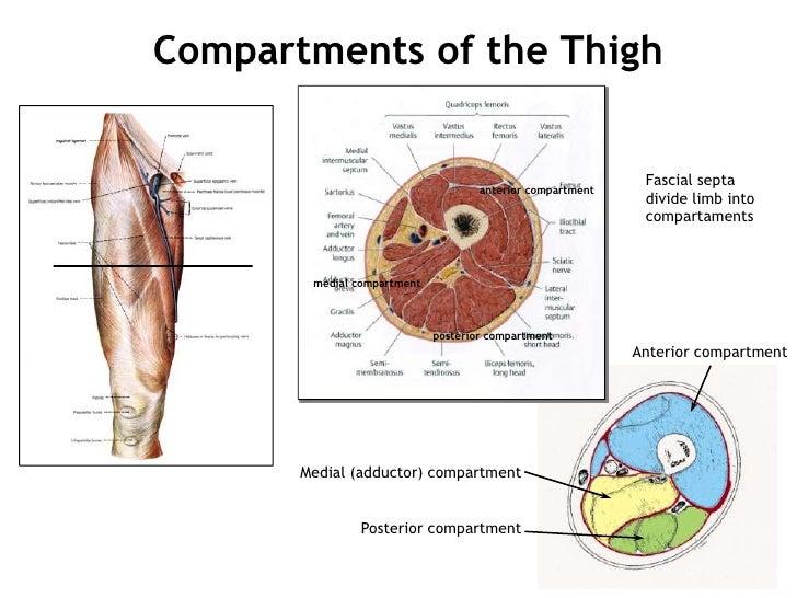 Thigh