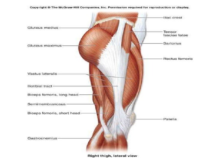 Leg Muscles Diagram | Thigh