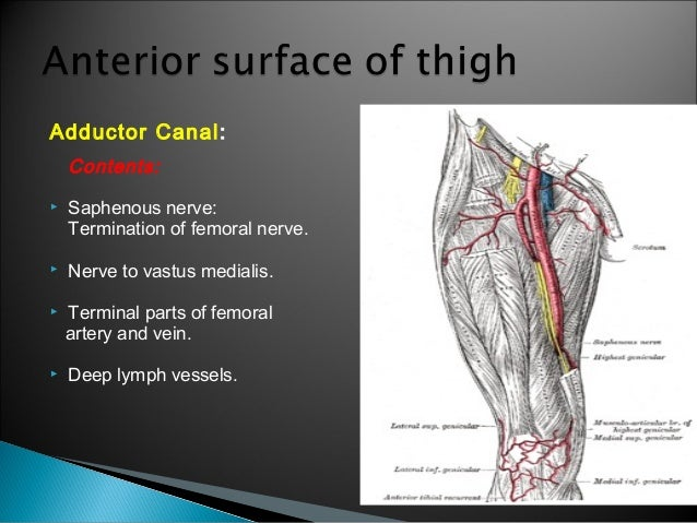 thigh - antpartment - anatomy, Muscles