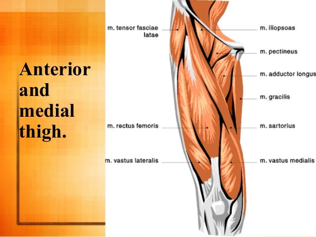 Thigh And Hip Muscles