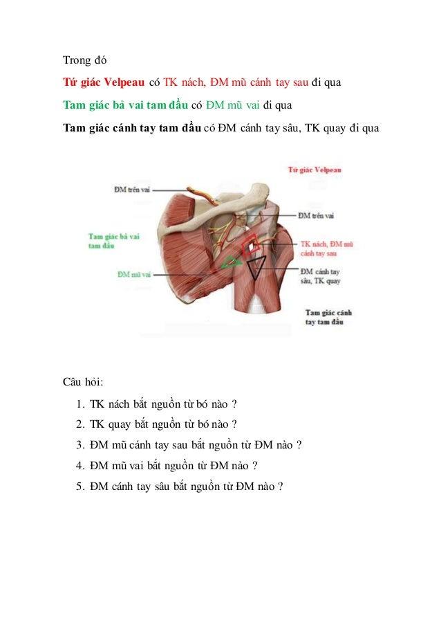 Tứ giác Velpeau, tam giác cánh tay tam đầu, tam giác cẳng tay tam đầu Slide 3