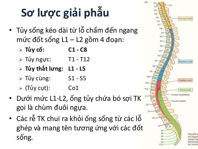 Sơ lược giải phẫu • Tủy sống kéo dài từ lỗ chẩm đến ngang mức đốt sống L1 – L2 gồm 4 đoạn:  Tủy cổ: C1 - C8  Tủy ngực: T...