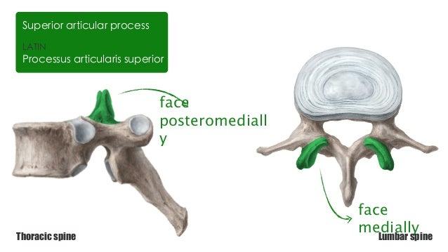 Thoracic vertebrae Vs Lumbar Vertebrae | anatomy Kenhub
