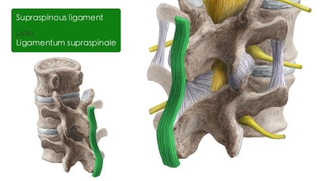 Hip and femur anatomy