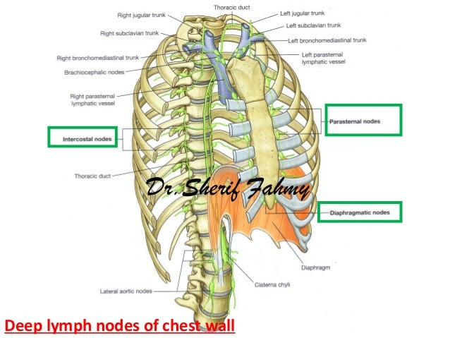 Thoracic part of sympathetic chain anatomy of the thorax deep lymph nodes of chest wall drerif fahmy ccuart Gallery
