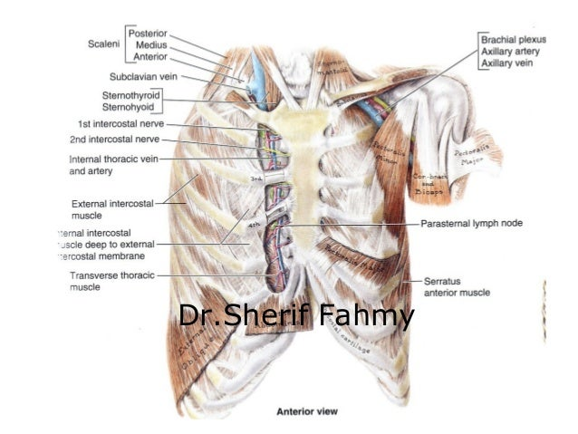 Thoracic walls (Anatomy of the Thorax)
