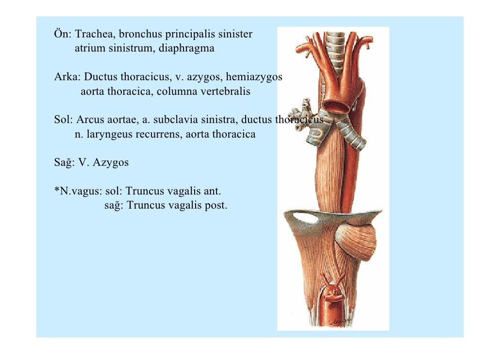 Fein Funktion Des Ductus Thoracicus Ideen - Menschliche Anatomie ...