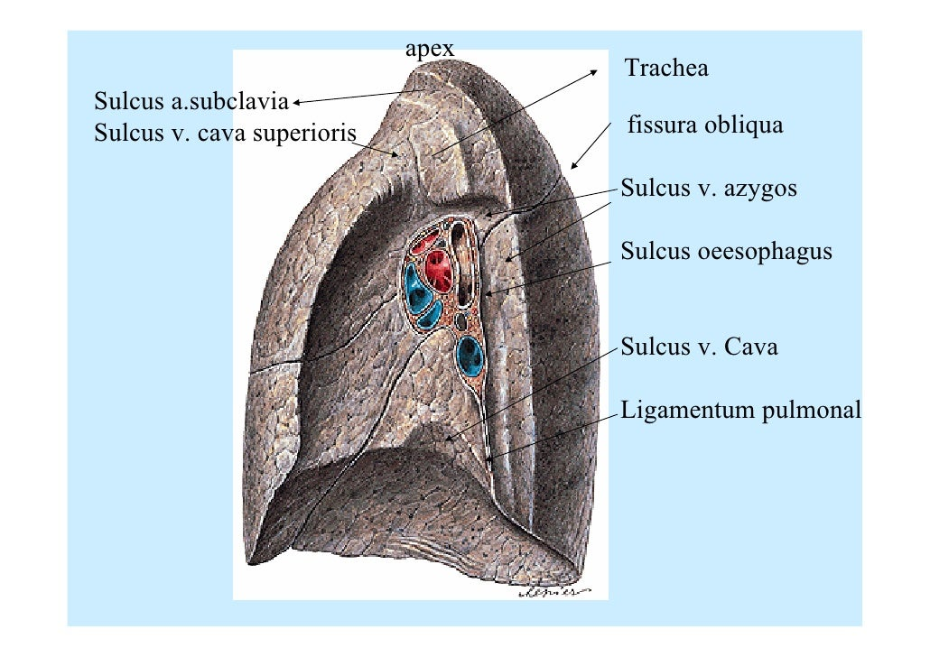 11831511 together with 1044685 together with 12160766 additionally Cardiac Anatomy Using Ct together with Watch. on oblique sinus of pericardium