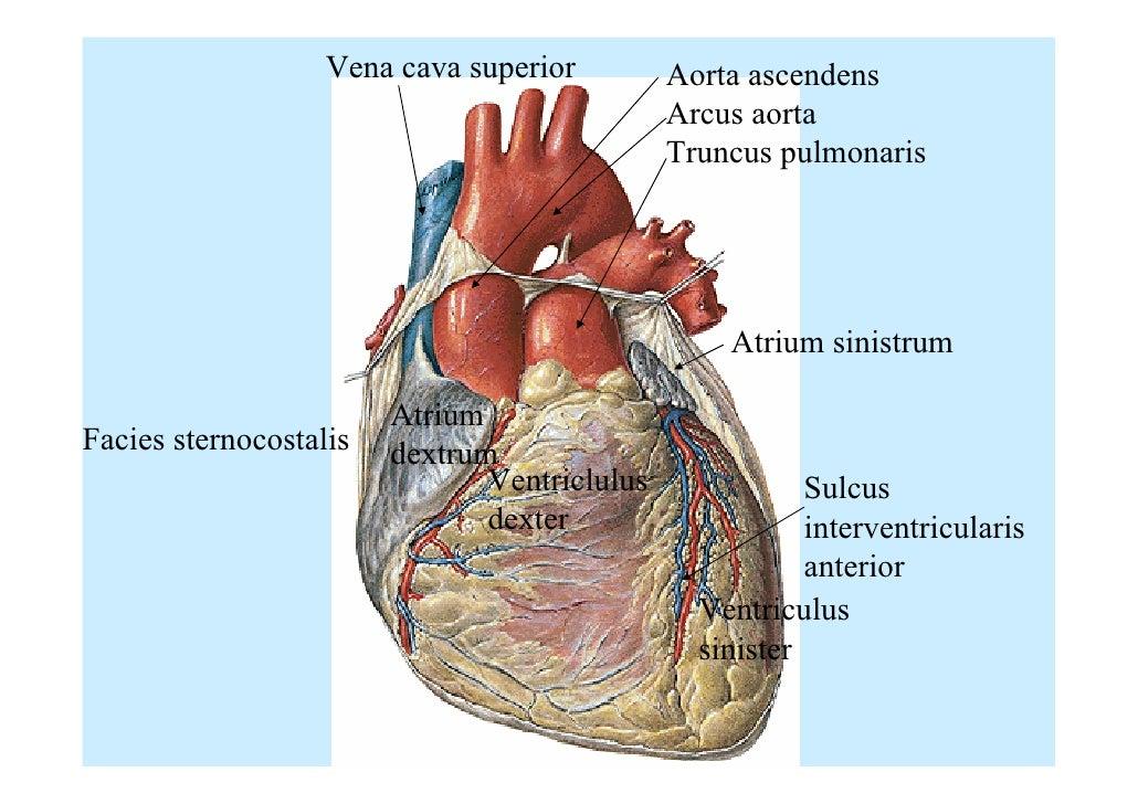 Sulcus interventricularis anterior    Med-koM