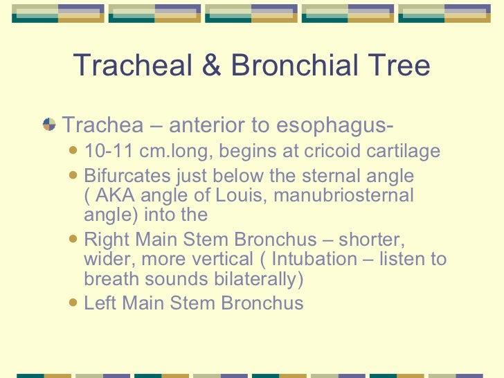Tracheal & Bronchial Tree <ul><li>Trachea – anterior to esophagus-  </li></ul><ul><ul><li>10-11 cm.long, begins at cricoid...