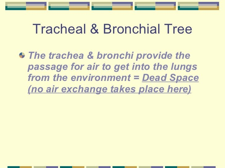 Tracheal & Bronchial Tree <ul><li>The trachea & bronchi provide the passage for air to get into the lungs from the environ...