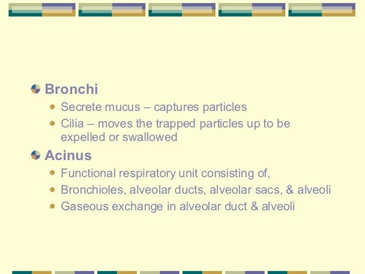 <ul><li>Bronchi  </li></ul><ul><ul><li>Secrete mucus – captures particles </li></ul></ul><ul><ul><li>Cilia – moves the tra...