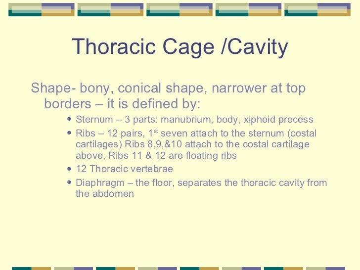 Thoracic Cage /Cavity <ul><li>Shape- bony, conical shape, narrower at top borders – it is defined by: </li></ul><ul><ul><u...