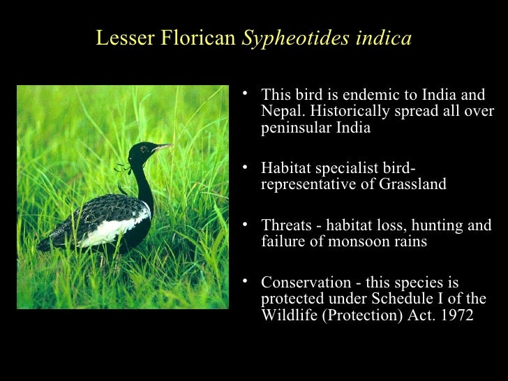 essay on endangered birds of india India has a rich and varied fauna there are about 75,000 species of animals of which 340 are mammals, 1200 birds, 420 reptiles, 140 amphibians, 2000 fishes, 50,000 insects 4000 mollusks and the other invertebrate.