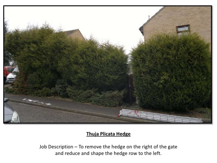 Thuja Plicata HedgeJob Description – To remove the hedge on the right of the gate      and reduce and shape the hedge row ...