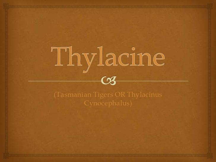 Thylacine<br />(Tasmanian Tigers OR Thylacinus Cynocephalus)<br />