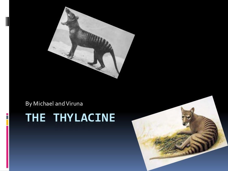 The Thylacine<br />By Michael and Viruna<br />