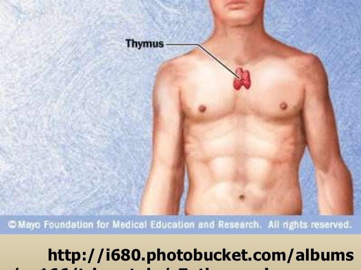 Thymus Gland Ppt