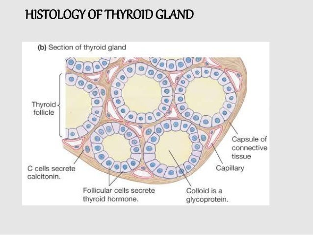 Thyriod Gland Anatomy And Physiology