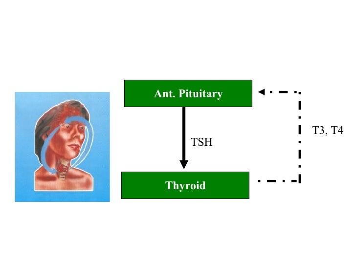 Ant. Pituitary Thyroid TSH T3, T4