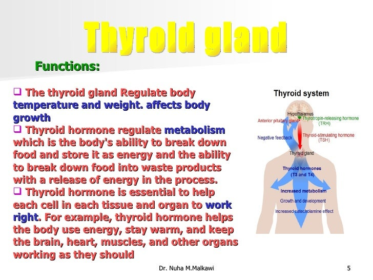 thyroid gland, Human Body